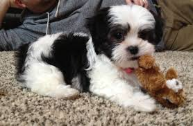 28 Best Black And White Shih Tzu Dog