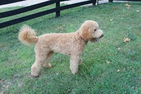 Do All Dogs Shed by Does Your Doodle Shed Twin Creeks Musings