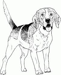 Beagle Coloring Pages 31367