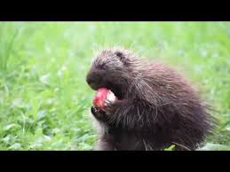 Porcupine Eats Pumpkin by Porcupine Eating Apple Woodbury Vermont Youtube