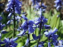 choosing blue bulbs for your garden hgtv