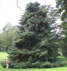 Spanish Fir Tree Seeds Abies Pinsapo 25