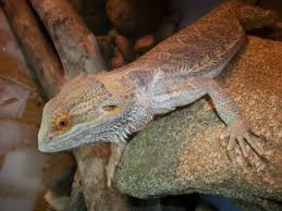 Bearded Dragon Heat Lamp Went Out by Life Of A Bearded Dragon Hubpages