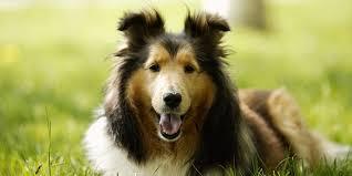 shetland sheepdog information characteristics facts names
