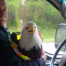 Low-flying Bald Eagle Collides With Truck, Dies Despite Driver's ... 2014 Used Intertional Prostar Eagle At Premier Truck Group Serving Heavy Equipment Moving Bakersfield Crane Rental 13 Adventurer Lp Eagle Cap 1200 Campers For Sale Home Transport Services Inc Delivery And Trucking Calgary Alberta Get Quotes For My 2006 9200i Silage Truck Item Dx9084 American Flag Wrap Visual Horizons Custom Signs Snacks 2 Archway Anheuser Busch Logo Sams Man Cave 2013 9900i Sale In Wheeling Wv By Dealer Ruthmann T 108 A Truckmounted Aerial Platform Youtube