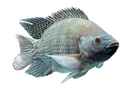 NO3 Aquacultures Tilapia Fry Fingerling Broodstock