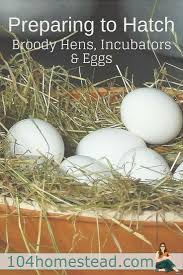90 Best Chick Fever Images On Pinterest | Raising Chickens ... Breeding Golden Duckwing Marans Backyard Chickens Best 25 Hatch Eggs Ideas On Pinterest Candling Chicken Easter Egger Or Olive Eggar Hatching Types Of Chickens Backyard Chicken Zone Black Copper Marans Hatching Eggs 12 2017 Groundhog Day Hatchalong The Chick Veterinary Care For A Best Tavuk Biefelder Images 229 9 Euskal Oiloa Marranduna Basque Hen Elite Poultry Truth About Pumpkin Seeds Worms Is My Pullethen Erelcock