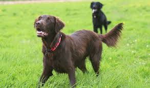Chesapeake Bay Retriever Molting by Flat Coated Retriever Breed Information