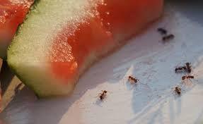 die besten hausmittel gegen ameisen mein schöner garten