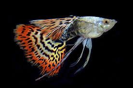poisson eau douce aquarium tropical vente de poissons d eau douce à les forges 88 alimentations et