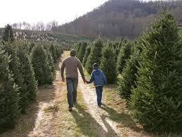Fraser Christmas Tree Cutting by Christmas Tree Farms Buy Haywood