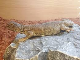 Bearded Dragon Heat Lamp Broke by Care Sheet Angell Pets U2013 The Friendliest Pet Shop In Gloucester