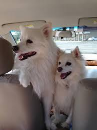 Toy American Eskimo Dog Shedding by Everything About Your American Eskimo Dog Luv My Dogs