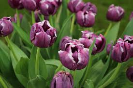 when to plant tulips hgtv