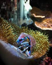 Do Hermit Crabs Shed Their Whole Body by The Blue Legged Hermit Crab Mister Nano Reef