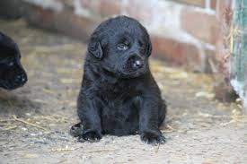 Chesapeake Bay Retriever Molting by Chesapeake Bay Retriever Facts Pictures Puppies Temperament