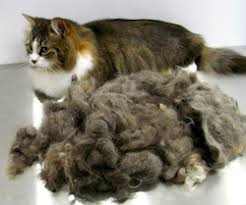 Excessive Hair Shedding In Cats by Grooming Services Blank Title