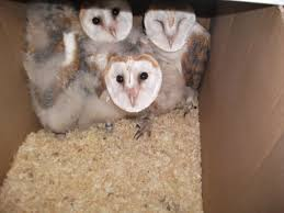 3 Barn Owl Chicks For Sale | Smethwick, West Midlands | Pets4Homes Barn Owl New Zealand Birds Online Audubon California Starr Ranch Live Webcams Barn Red My Pet Pupo The Barn Owl Mouse Youtube Babyowl Explore On Deviantart Adopt An The Wildlife Trusts Wikipedia Owlrodent Research Project Vineyard Owl Lookie My Pet Growing Up Growing Up Album Imgur Made Out Of Wood And Plant Materials I Found At Parents