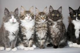 forest cat vs maine coon breeders archives mainecoon org