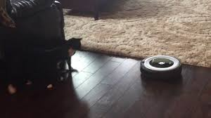 Roomba For Hardwood Floors Pet Hair by Pets React To Roomba Vacuum Youtube