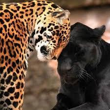 best jaguar images on Pinterest