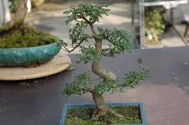 pot bonsai grande taille bonsai orme de chine ulmus parvifolia entretien maitre bonsai