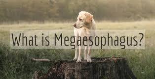 Bailey Chair Megaesophagus Instructions by What Is Megaesophagus Good Pet Parent