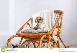 Cute Puppy Sitting Up On Wooden Rocking-chair Stock Photo - Image Of ... Wooden Rocking Horse Orange With Tiger Paw Etsy Jefferson Rocker Sand Tigerwood Weave 18273 Large Tiger Sawn Oak Press Back Tasures Details Give Rocking Chair Some Piazz New Jersey Herald Bill Kappel Crown Queen Lenor Chair Sam Maloof Style For Polywood K147fsatw Woven Chairs And Solid Wood Fine Fniture Hand Made In Houston Onic John F Kennedy Rocking Chair Sells For 600 At Eldreds Lot 110 Two Rare Elders Willis Henry Auctions Inc Antique Oak Carving Of Viking Type Ship On Arm W Velvet Cushion With Cushions