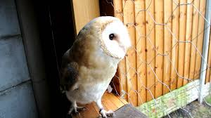 Talula The Barn Owl - Playing - YouTube 55 Best Owl Images On Pinterest Barn Owls Children And Hunting Owls How To Feed Keep An Owlet Maya A Brief Introduction The Common Types Of Six Reasons Why You Dont Want An Owl As Pet Bird Introducing Gizmo Baby Whitefaced Youtube 2270 Animals 637 Oh Meine Uhus I Love Owls My Barn Cat Baby By Disneyqueen1 Deviantart All Things Nighttime Predator Cute Animals