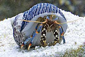 signs a hermit crab is getting ready to molt