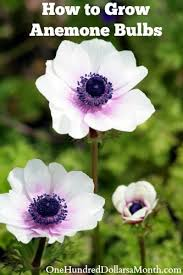 how to grow anemone bulbs one hundred dollars a month
