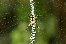 Black And Yellow Garden Spider, Aurantia Argiope R2rustys Chatter September 2017 Ladybugs Backyard And Beyond Birdingand Nature Golden Silk Orb Weaver Spider In Bug Eric Sunday Black Yellow Argiope Glass Beetle By Falk Bauer A Backyard Naturalistinsects Ghost Spiders Family Anyphnidae Spidersrule C2c_wiki_silvgarnspider_hrw8q0m1465244105jpg Aurantia Wikipedia Two Views Sonoran Images Elephant Tiger Skin Spiny Blackandyellow Garden Mdc Discover Power Animal For October Shaman Amy Katz