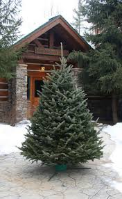 Fraser Fir Christmas Trees Nc by Best 25 Fraser Fir Christmas Tree Ideas On Pinterest Balsam Fir