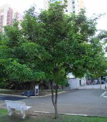 100 Pau Brazil Brazil Brazilwood Caesalpinia Echinata In Danger