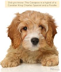 Small Non Shedding Dogs For Seniors by Cavapoo