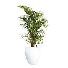golden palm in pots golden palm in pots 28 images golden palm dypsis lutescens