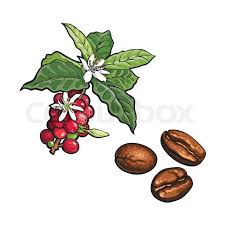 Vector Sketch Hand Drawn Coffee Tree Branch With Ripe Berries Leaves And Flowers Fried Beans Plant Image Isolated Illustration On A