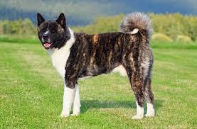 Do Akitas Shed Bad by American Akita Dog Breed Info Characteristics Traits