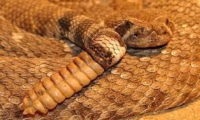 rattlesnakes facts venom habitat information