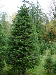 Nordmann Fir Christmas Trees Wholesale by Armstrong Creek Farms