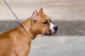No Shedding Dog Breed by 17 Super Low Maintenance Dog Breeds Mysweetpuppy Net