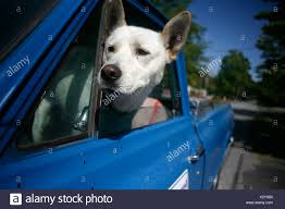 100 Truck Dog A Dog Leans His Head Out The Window Of A Truck In South Carolina