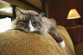 Microfiber Sofas And Cats by The Best Of Upholstered Furniture For A Home With Cats Home