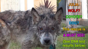 Julia A Wolf A Coyote A Dog This Rescue Is A MUST SEE YouTube