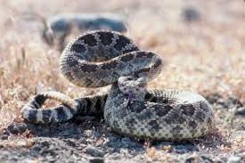 how to determine the age of a rattlesnake animals mom me