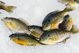 Pumpkin Seed Sunfish Pictures by Bedding Time For Bream In Freshwater Fishing
