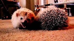 Porcupine Eating Pumpkin And Talking by Cutest Thing Ever Porcupine Eating A Pumpkin Squee Cute Sounds
