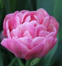flowers tulip bulbs flower bulbs graceful flower bulbs lidl