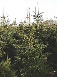 Barcana Christmas Trees by Christmas Barcana Flocked Silver Tip Different Types Of