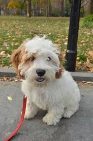 Do Cavapoos Shed A Lot by 20 Best Poodle Terrier Mix Images On Pinterest Terrier Mix